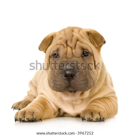 Sharpei in front of a white background - stock photo