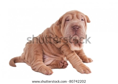 Sharpei puppy sitting isolated on white background - stock photo