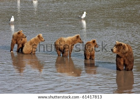 She-bear with four bear cubs. Wait fish. The river. - stock photo