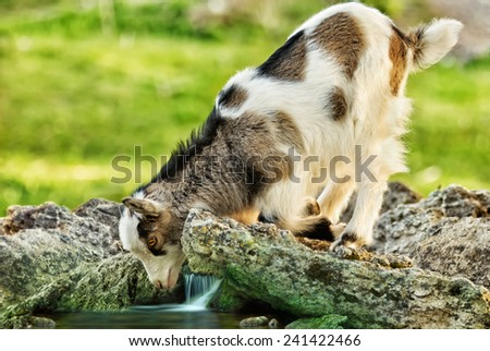 she goat kid looking in it's reflection in the water stream - stock photo