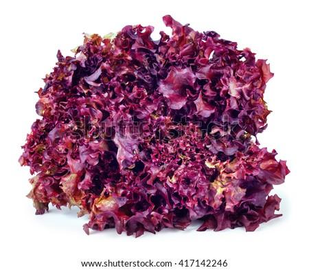 sheaf of purple lettuce Lollo Rosso isolate. Fresh vegetable salad Lollo Rosso - stock photo