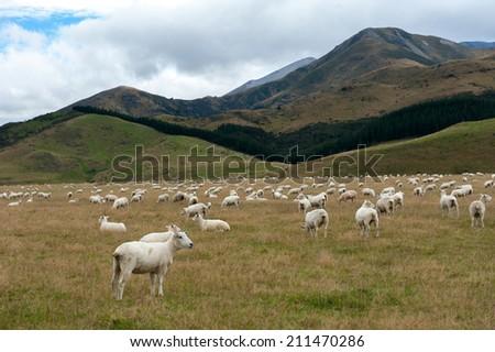 Sheep among New Zealand hills - stock photo