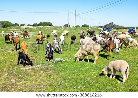 Sheep and goats in the countryside from Portugal - stock photo
