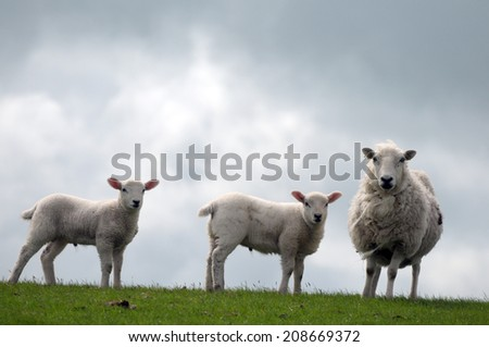 Sheep and  lamb against sky in Cardigan, Wales - stock photo