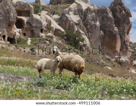 Sheep and lamb and in mountain valley