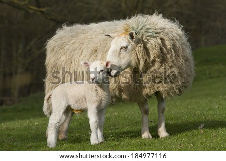 Sheep and lamb in rural countryside - stock photo
