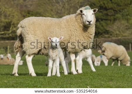 Sheep and lamb in rural countryside