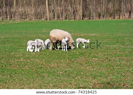 Sheep and lambs grazing in a field in early Spring - stock photo