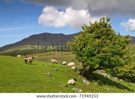 Sheep and rams in Connemara mountains - stock photo
