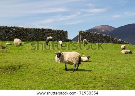 Sheep and rams in Connemara mountains - Ireland - stock photo