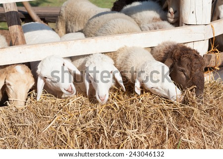 sheep are feeding in the fence under sunlight