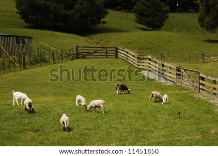 Sheep at Pasture grazing - stock photo