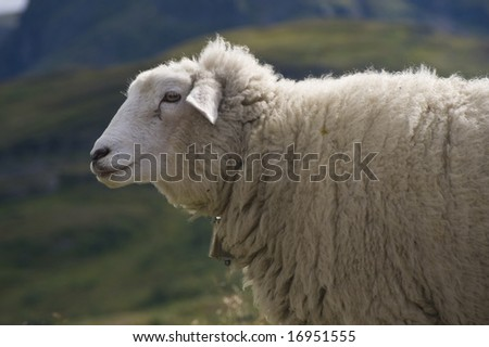 Sheep at summer graze in the mountains