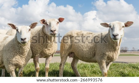 Sheep at sunny day in spring on top of a dike in the Netherlands - stock photo