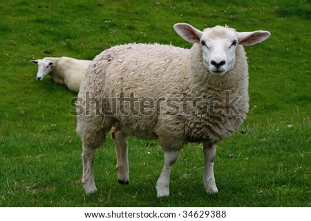 Sheep at the willow, looking - stock photo