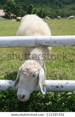 Sheep behind stable on the grass at Ratchaburi, Thailand - stock photo