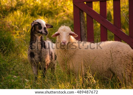 Sheep by the fence