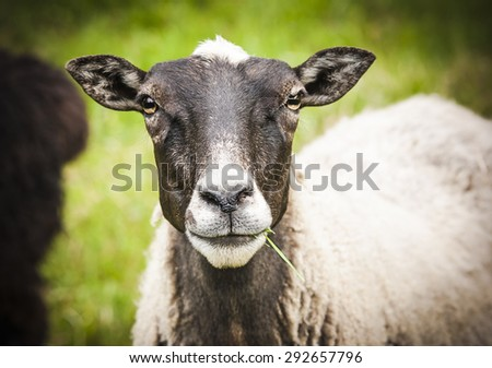 Sheep close up - stock photo