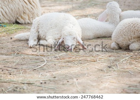 Sheep crouch with another sheep  - stock photo