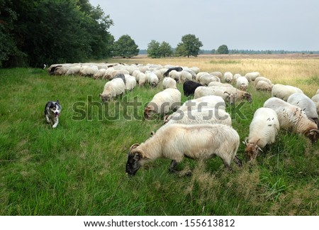 sheep dogs  in action infront of sheep herd - stock photo