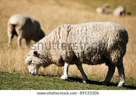 Sheep eat grass on a farm in Otago, the south Island of New Zealand. - stock photo