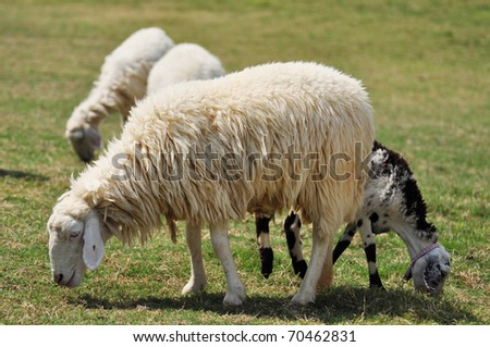 Sheep eating in the green field