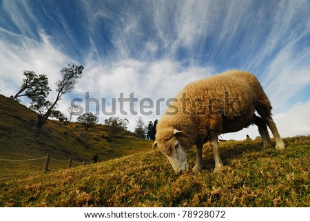 Sheep eating on the Hillside - stock photo