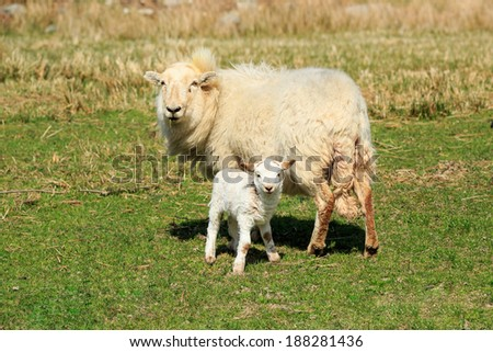Sheep, ewe and lamb standing on farmland - stock photo