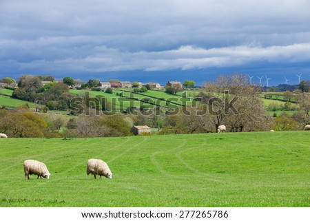 Sheep ewes grazing in a rural landscape with wind turbines in the distance - stock photo