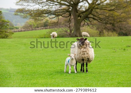 Sheep ewes with one lamb on spring grass - stock photo