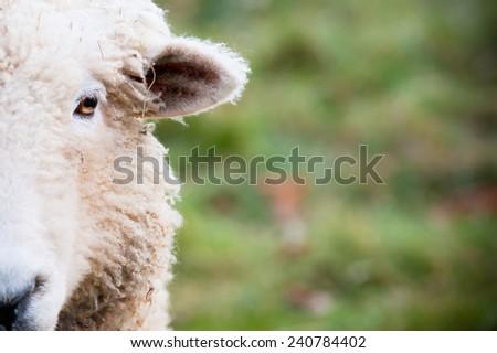 sheep face - stock photo