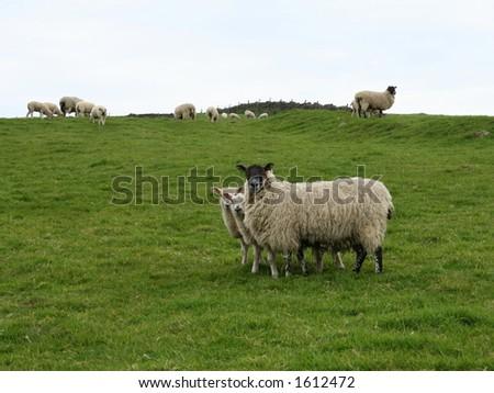 sheep famliy - stock photo