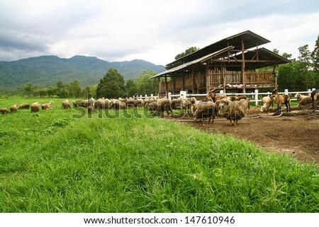 sheep farm and barn - stock photo