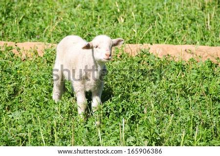 Sheep Farming - stock photo