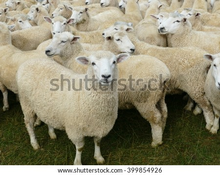 Sheep farming is a significant industry in New Zealand.million sheep in the country.  The country has the highest density of sheep per unit area in the world.