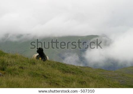 Sheep. Faroe Islands - stock photo