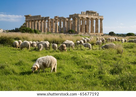 Sheep feeding in front of ruins of ancient Hellenic city Selinunte - Temple E. Selinunte was the most westerly Hellenic colony of Greece in Sicily. It was founded in 650 BC and destroyed after 250 BC. - stock photo
