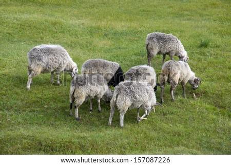 Sheep grass - stock photo