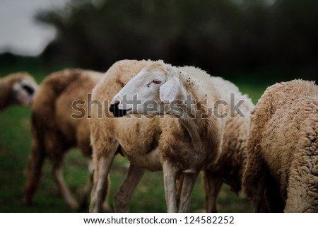 Sheep graze with closeup head - stock photo