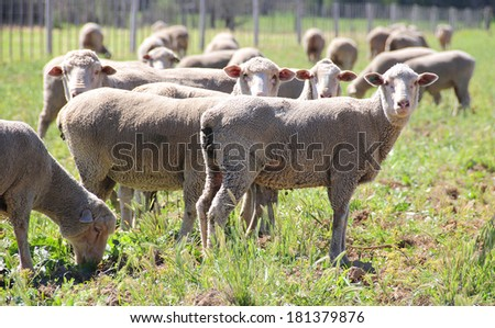 Sheep grazing in a field - stock photo