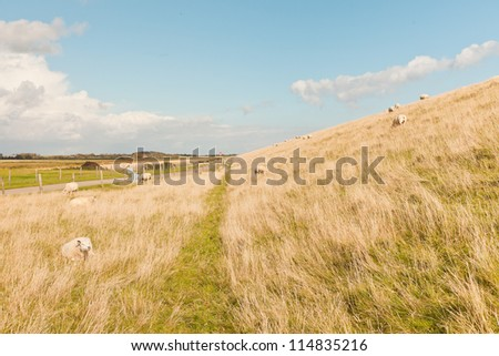 Sheep grazing in field of grass. Dike. Blue cloudy sky. Wadden island. Texel. The Netherlands.