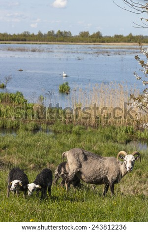Sheep grazing in the meadow by the lake - stock photo