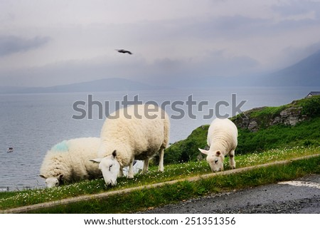 Sheep grazing in the Scottish highlands - stock photo