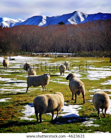 Sheep grazing in the snow on a sunny winter's day - stock photo