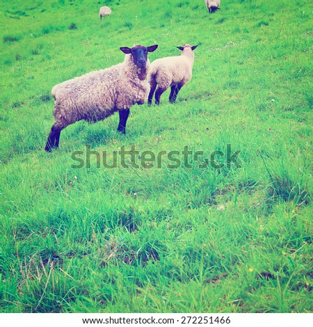 Sheep Grazing on a Green Grass of Protective Dam in Holland, Instagram Effect - stock photo
