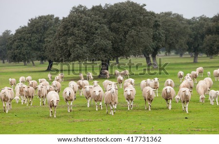 Sheep grazing on a green meadow in de center of Spain - stock photo