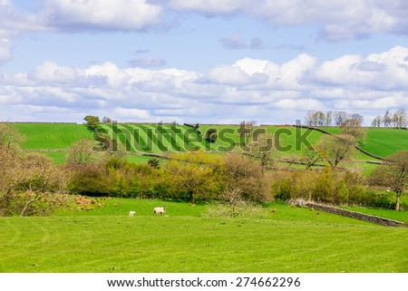 Sheep grazing on farmland in the countryside - stock photo