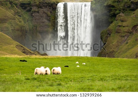 sheep grazing on green grass near the waterfall Iceland - stock photo