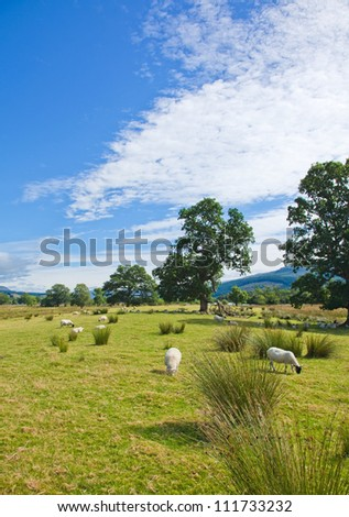 Sheep grazing on marshy plain between Loch Tay and confluence of the rivers Dochart and Lochay - stock photo