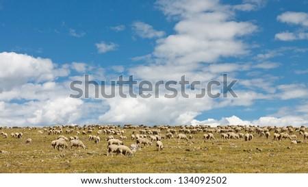 Sheep Grazing on the Tundra of the Rocky Mountains, Colorado, USA - stock photo